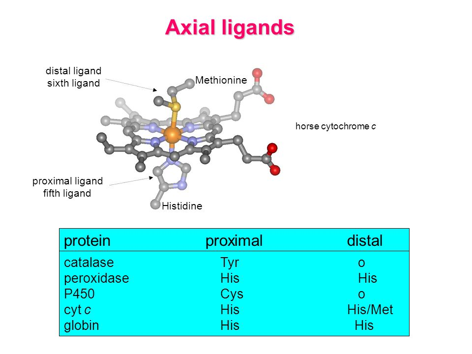 Axial ligands protein proximal distal catalase Tyr o