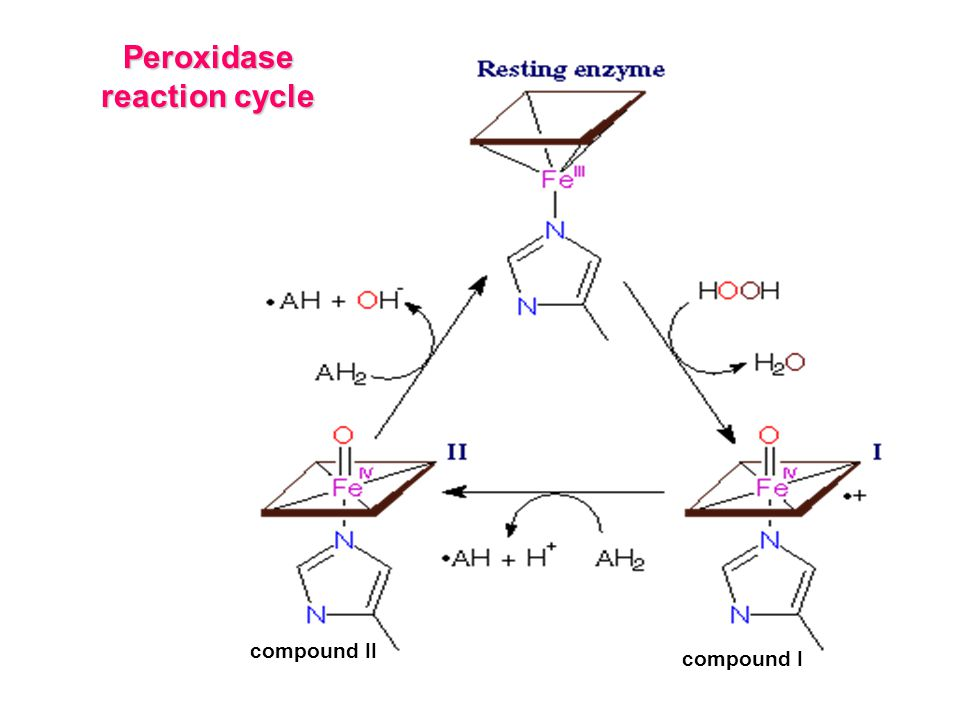 Peroxidase reaction cycle