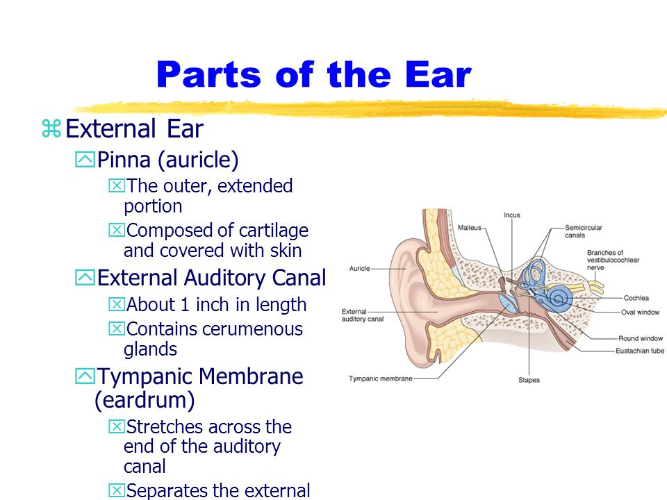 Parts of the Ear External Ear Pinna (auricle) External Auditory Canal
