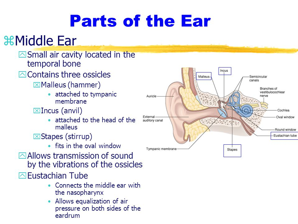 Parts of the Ear Middle Ear
