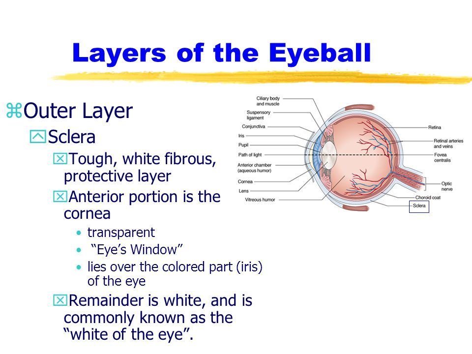 Layers of the Eyeball Outer Layer Sclera