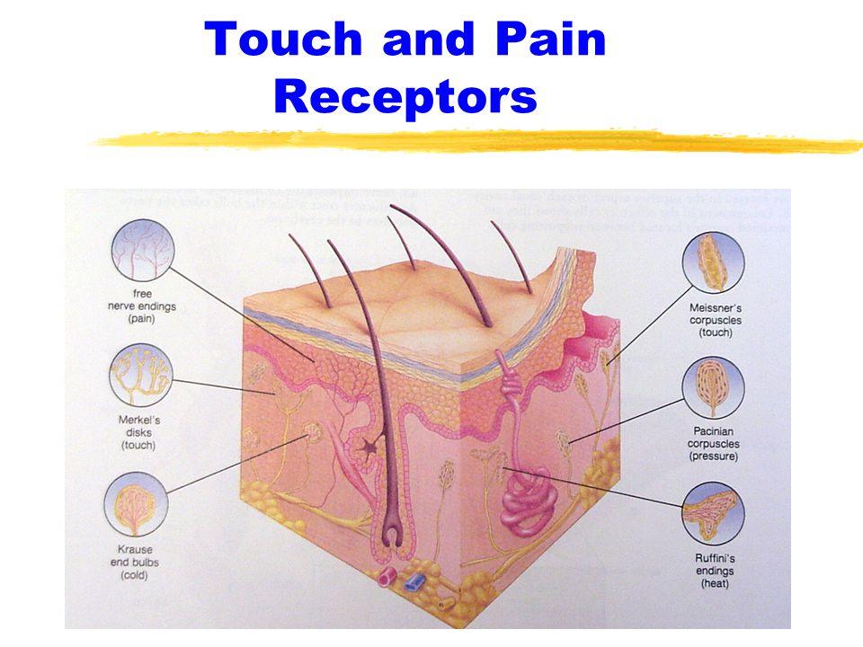 Pain receptors in skin