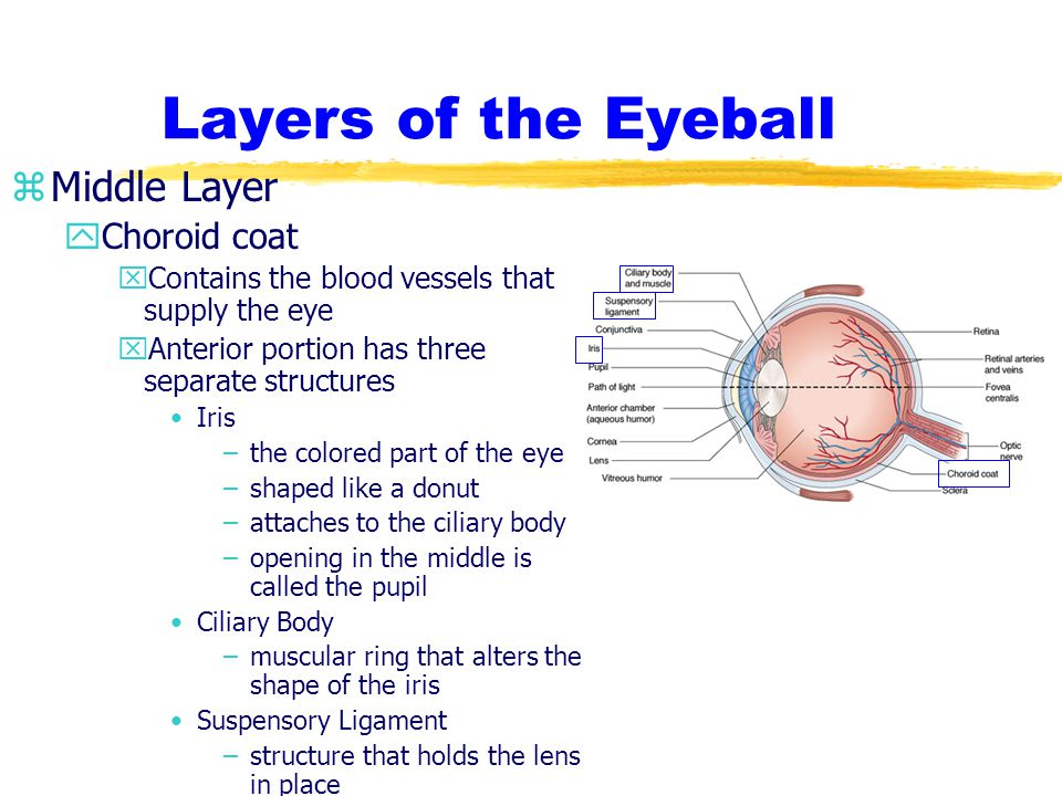 Layers of the Eyeball Middle Layer Choroid coat