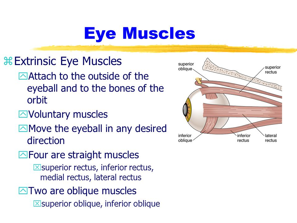 Eye Muscles Extrinsic Eye Muscles