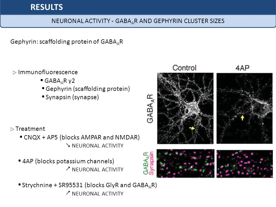 NEURONAL ACTIVITY - GABAAR AND GEPHYRIN CLUSTER SIZES