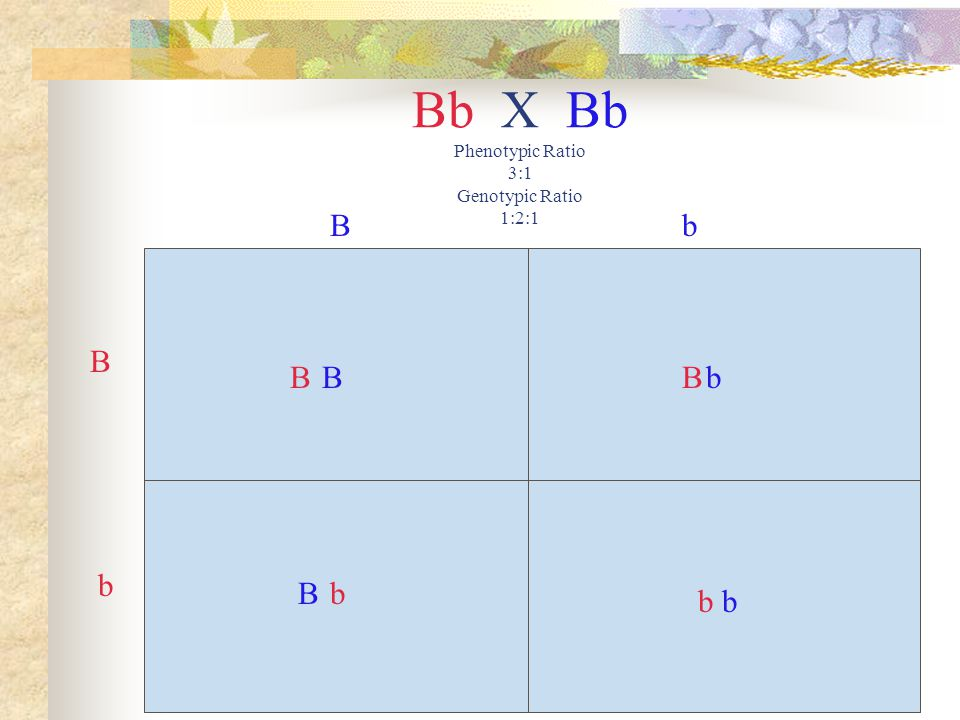 Bb X Bb Phenotypic Ratio 3:1 Genotypic Ratio 1:2:1