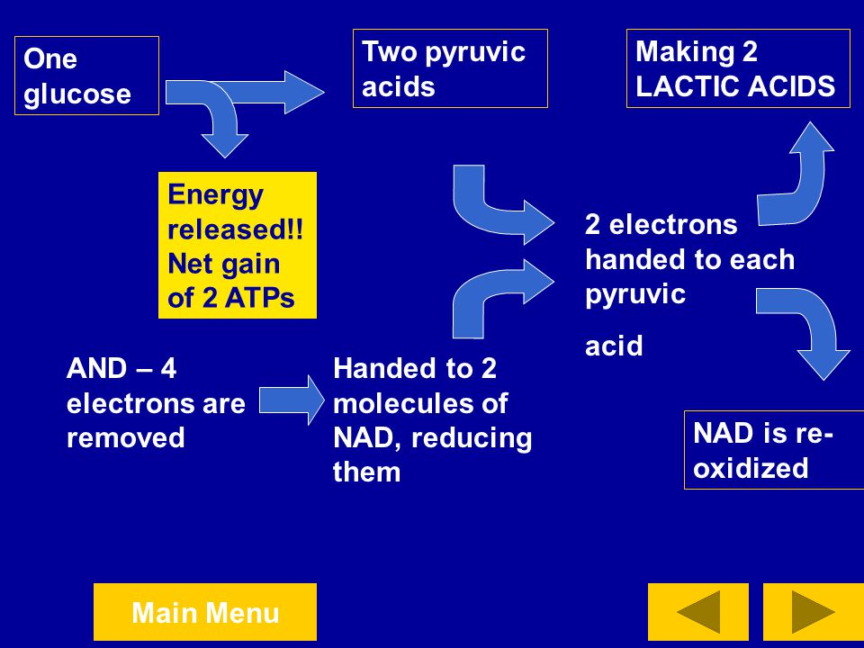 Two pyruvic acids Making 2 LACTIC ACIDS. One glucose. Energy released!! Net gain of 2 ATPs. 2 electrons handed to each pyruvic.