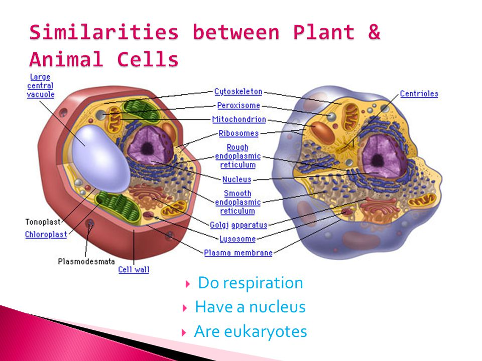 Similarities between Plant & Animal Cells