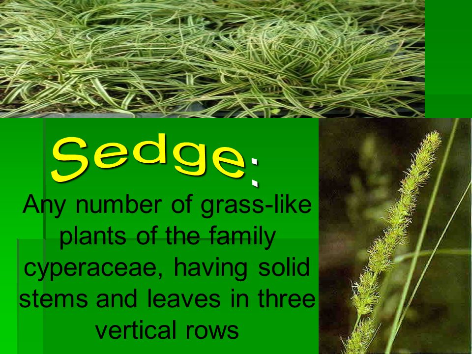 Sedge: Any number of grass-like plants of the family cyperaceae, having solid stems and leaves in three vertical rows.