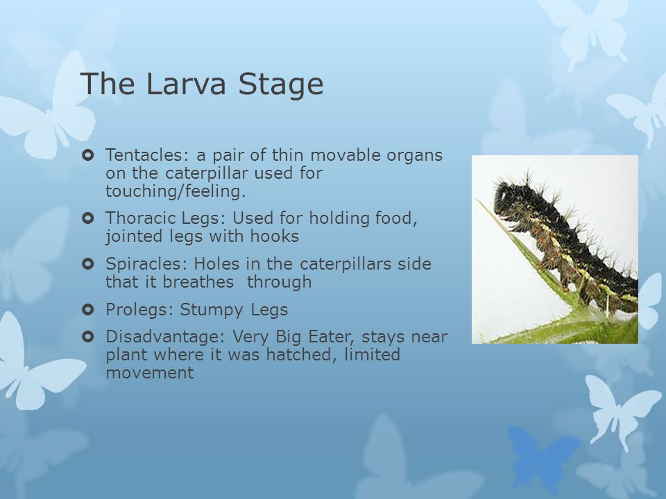 The Larva Stage Tentacles: a pair of thin movable organs on the caterpillar used for touching/feeling.