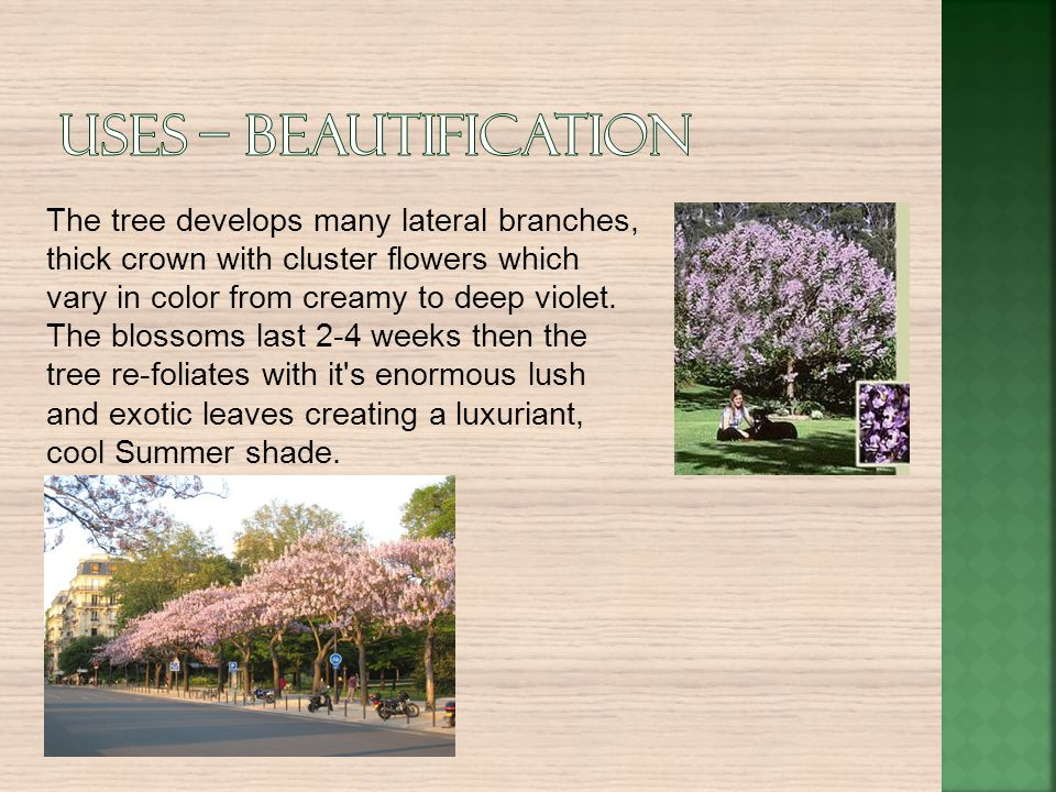 Uses – Beautification The tree develops many lateral branches, thick crown with cluster flowers which vary in color from creamy to deep violet.