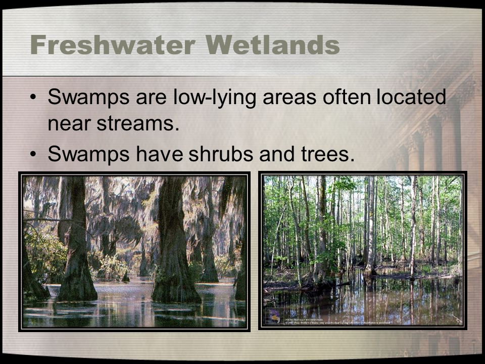 Freshwater Wetlands Swamps are low-lying areas often located near streams.