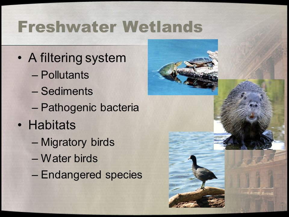 Freshwater Wetlands A filtering system Habitats Pollutants Sediments