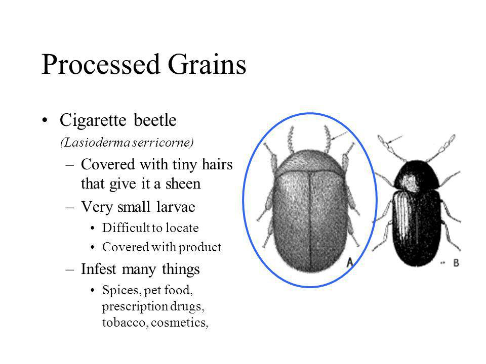 Processed Grains Cigarette beetle