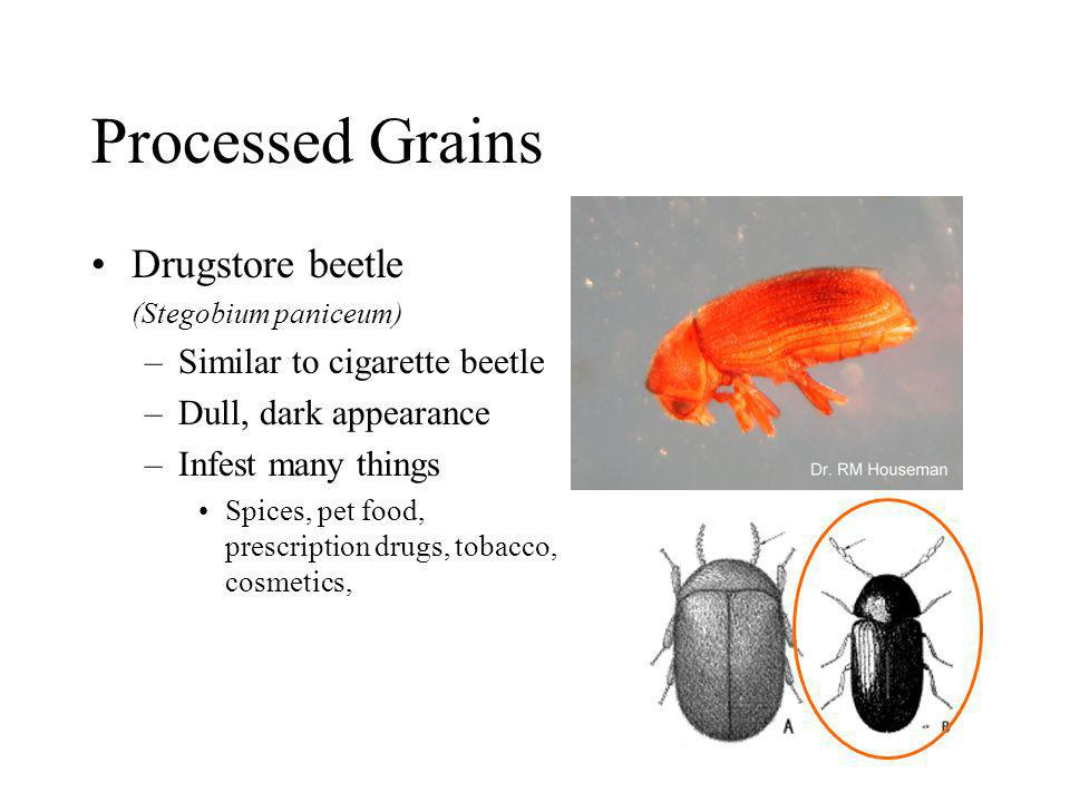 Processed Grains Drugstore beetle Similar to cigarette beetle