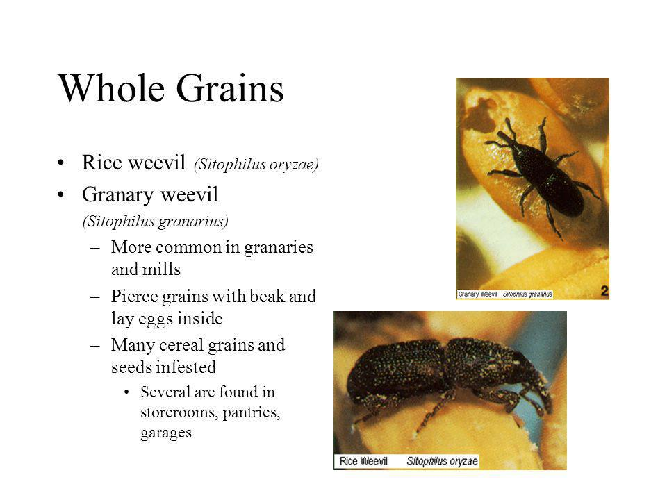 Whole Grains Rice weevil (Sitophilus oryzae) Granary weevil