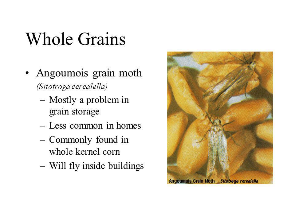 Whole Grains Angoumois grain moth Mostly a problem in grain storage