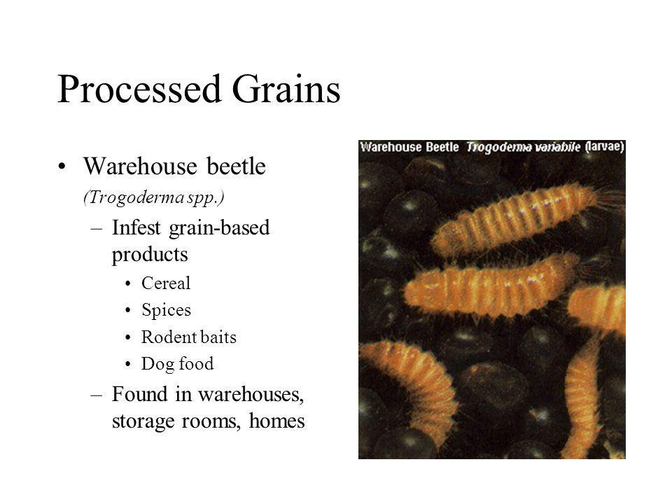 Processed Grains Warehouse beetle Infest grain-based products