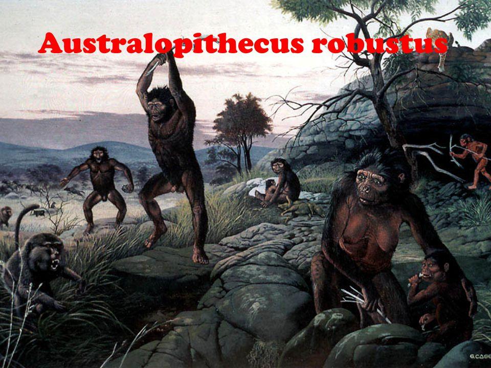 Australopithecus robustus