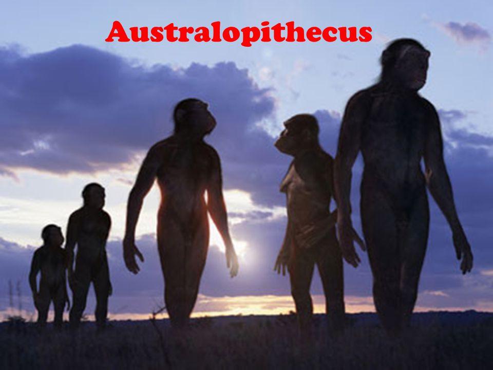 Australopithecus Australopithecus