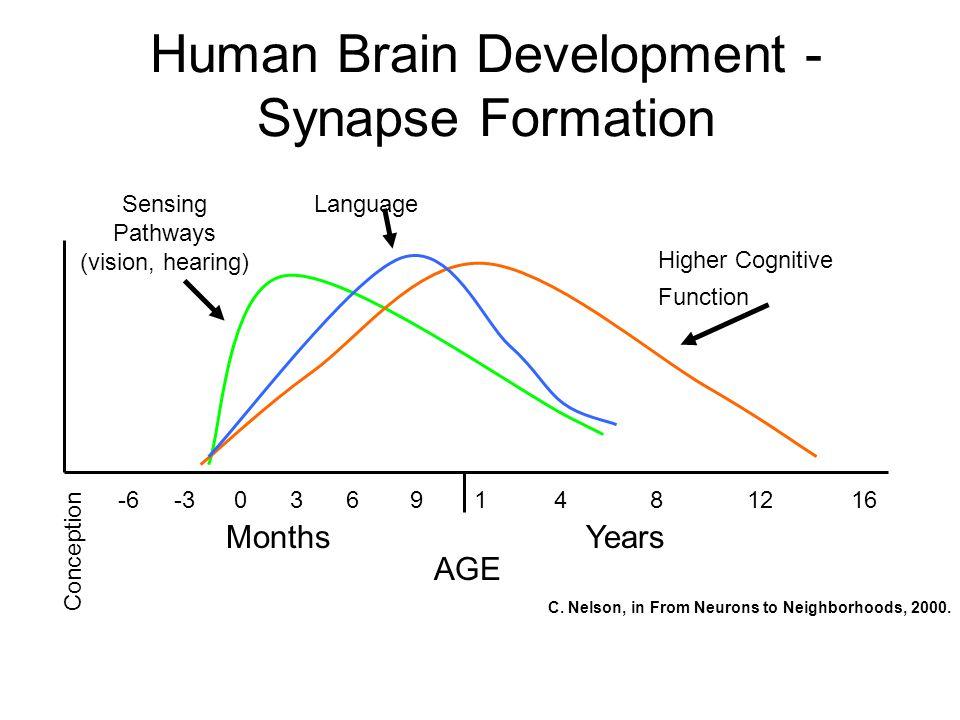 Human Brain Development - Synapse Formation