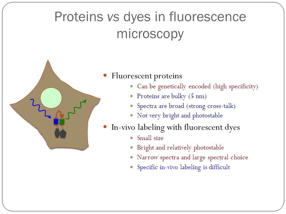 Proteins vs dyes in fluorescence microscopy