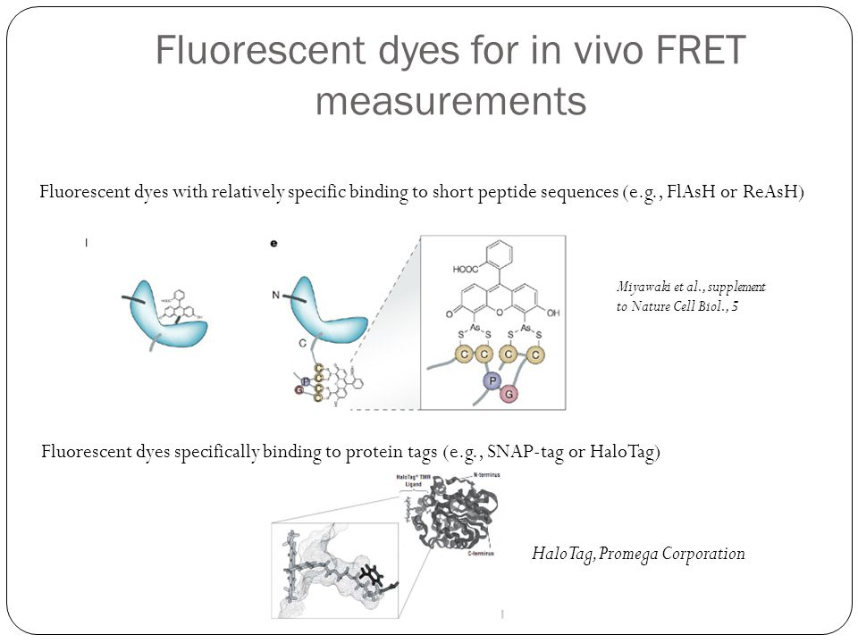 Fluorescent dyes for in vivo FRET measurements