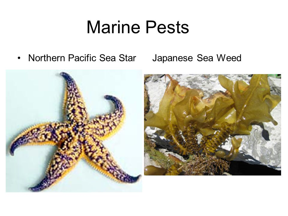 Marine Pests Northern Pacific Sea Star Japanese Sea Weed