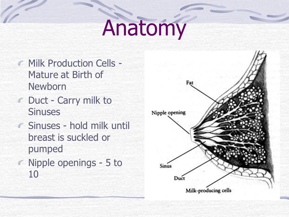 Anatomy Milk Production Cells - Mature at Birth of Newborn