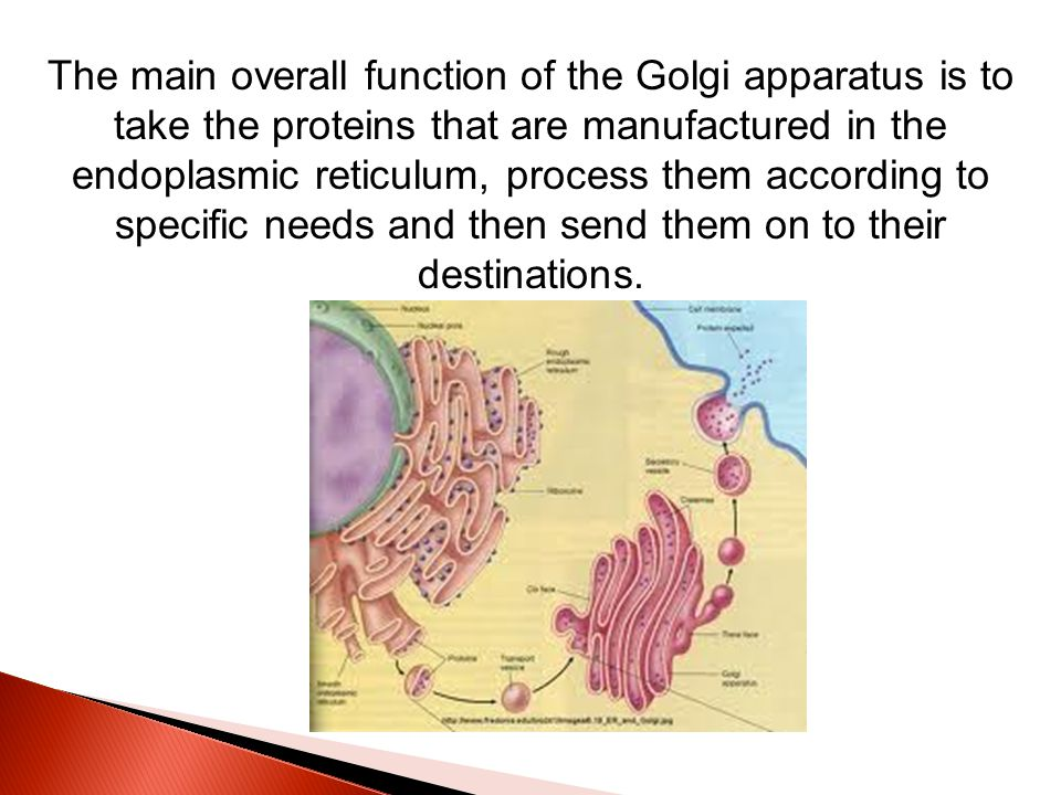 The main overall function of the Golgi apparatus is to take the proteins that are manufactured in the endoplasmic reticulum, process them according to specific needs and then send them on to their destinations.