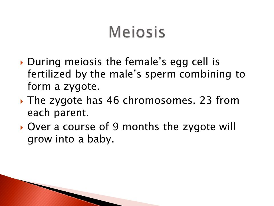 Meiosis During meiosis the female's egg cell is fertilized by the male's sperm combining to form a zygote.