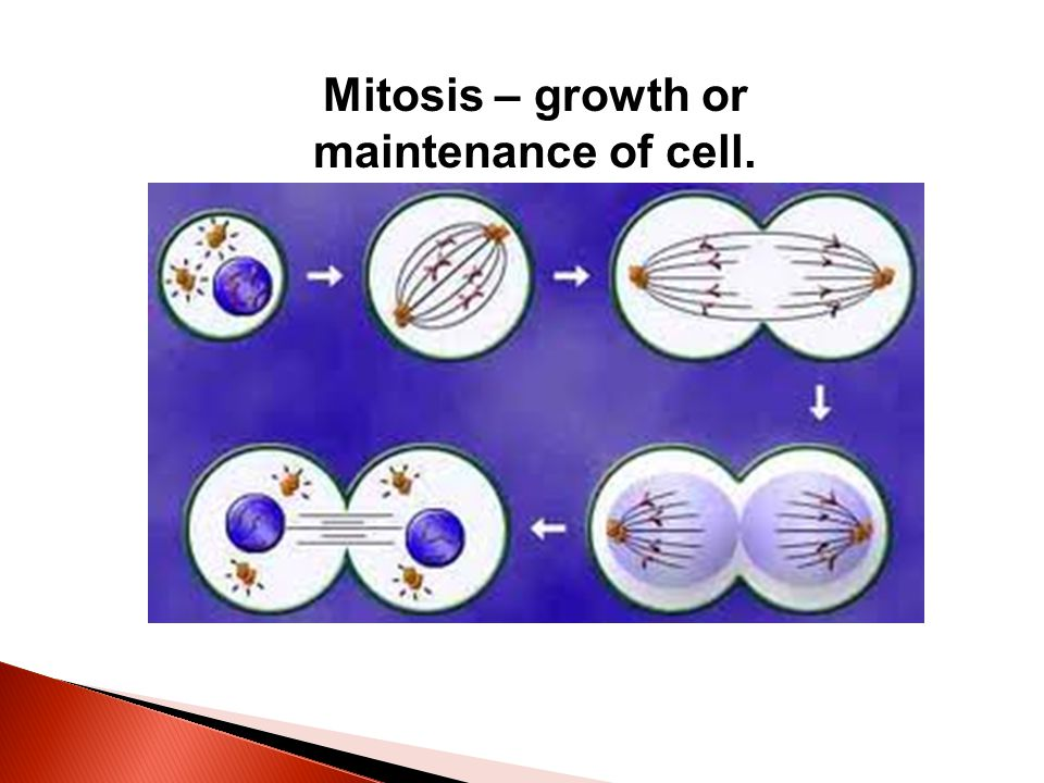 Mitosis – growth or maintenance of cell.