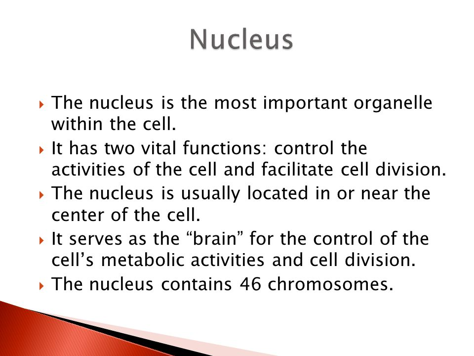 Nucleus The nucleus is the most important organelle within the cell.