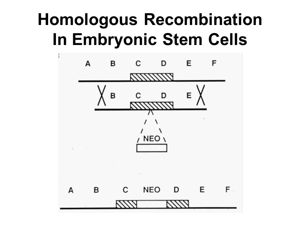 Homologous Recombination In Embryonic Stem Cells