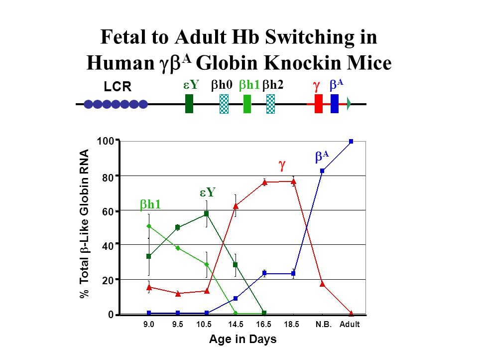 Fetal to Adult Hb Switching in Human gbA Globin Knockin Mice