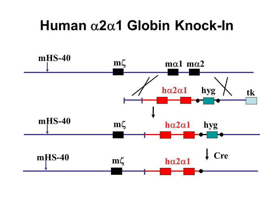 Human a2a1 Globin Knock-In
