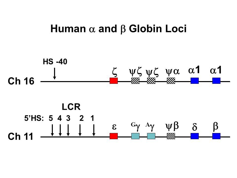 Human a and b Globin Loci