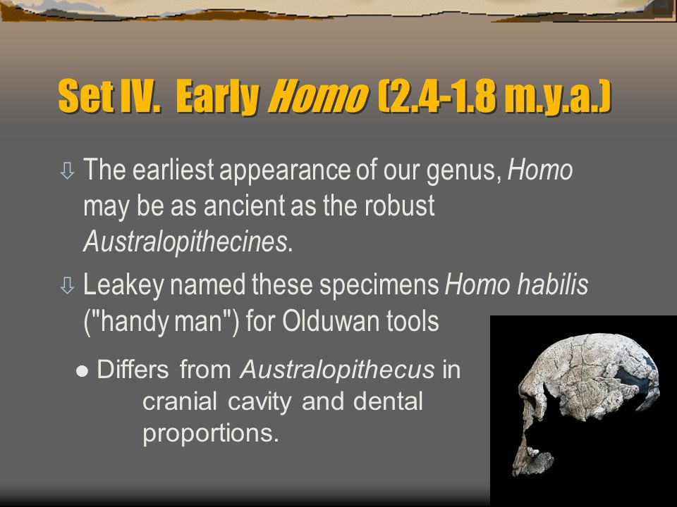 Set IV. Early Homo (2.4-1.8 m.y.a.)