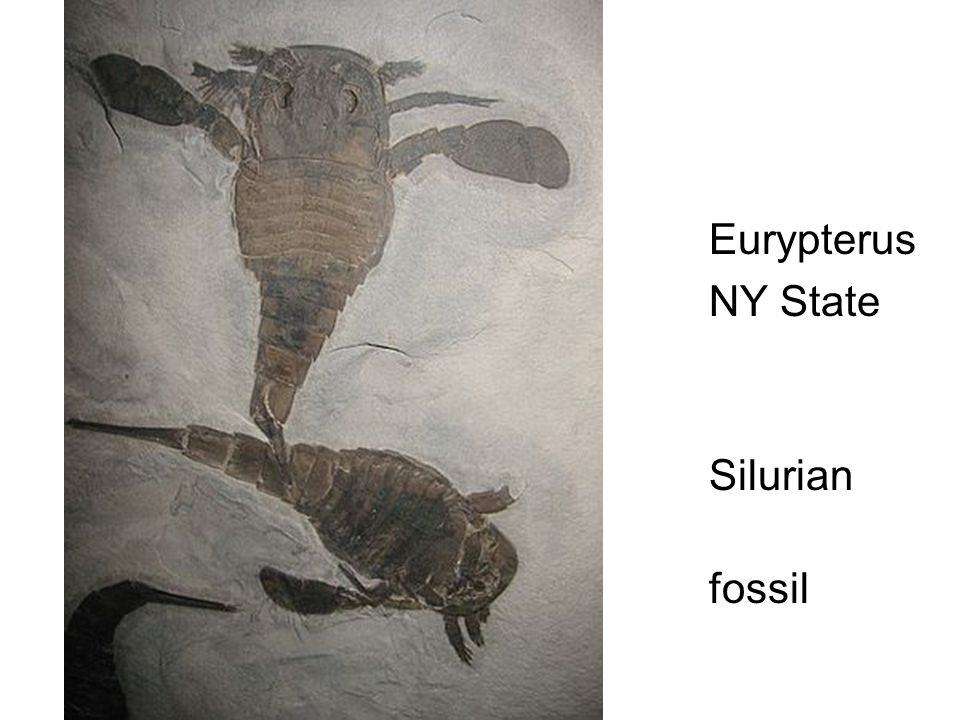 Eurypterus NY State Fossil Silurian index fossil