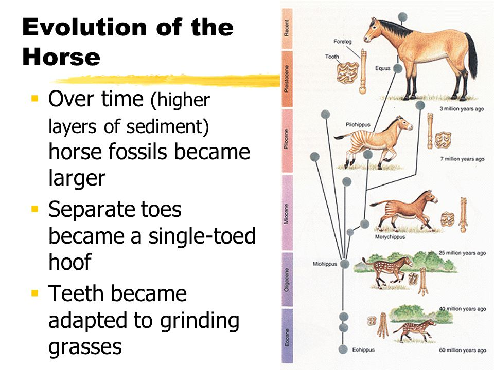 Evolution of the Horse Over time (higher layers of sediment) horse fossils became larger. Separate toes became a single-toed hoof.