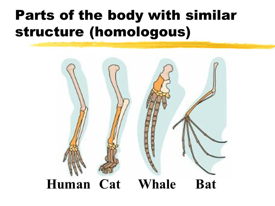 Parts of the body with similar structure (homologous)