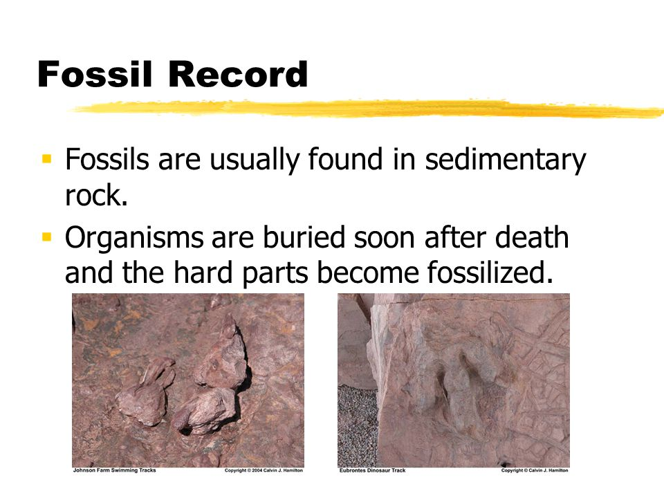 Fossil Record Fossils are usually found in sedimentary rock.