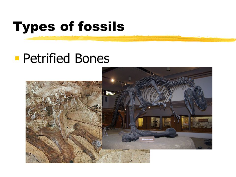 Types of fossils Petrified Bones