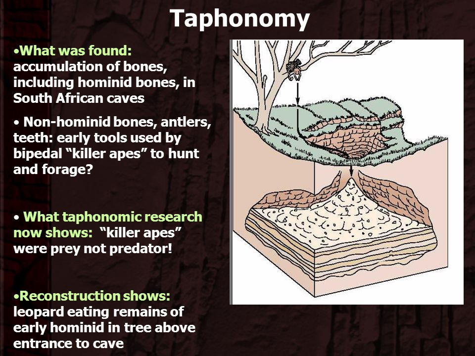 Taphonomy What was found: accumulation of bones, including hominid bones, in South African caves.