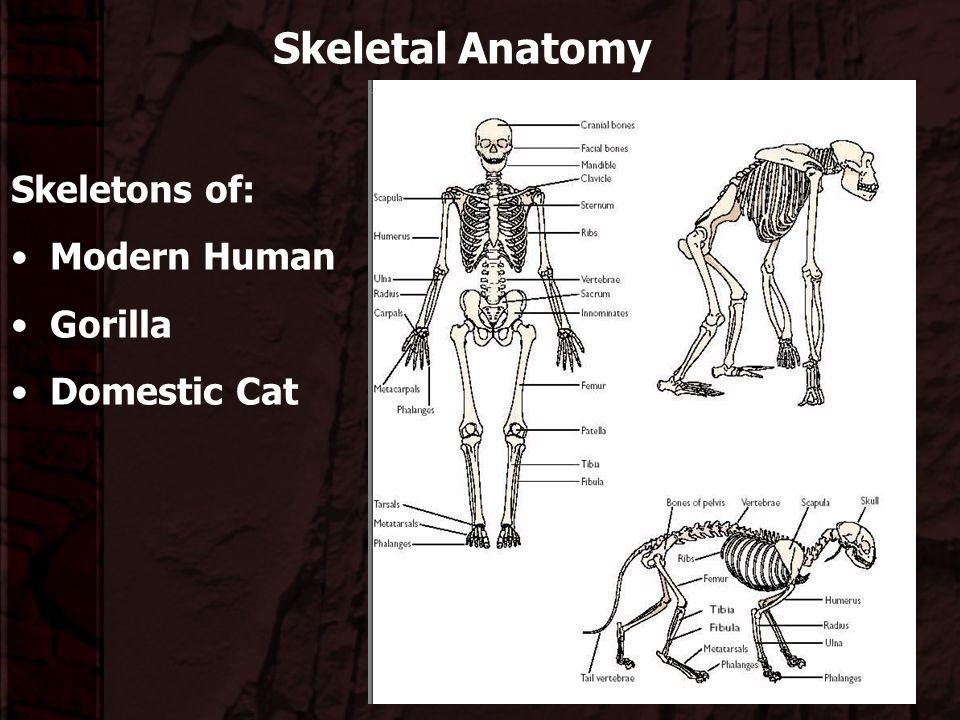 Skeletal Anatomy Skeletons of: Modern Human Gorilla Domestic Cat