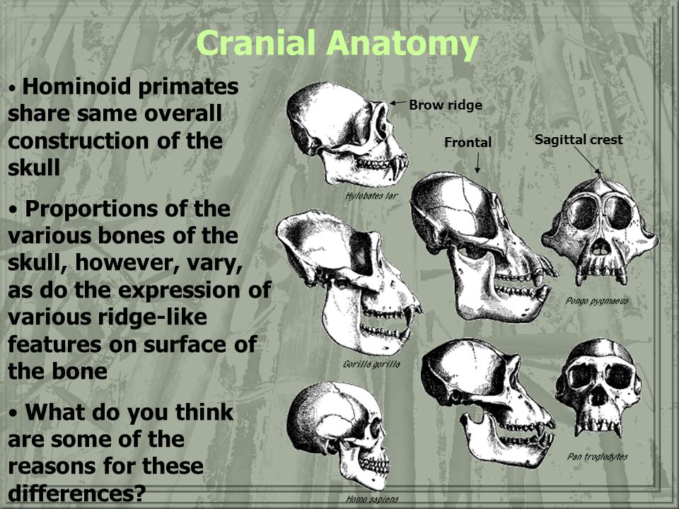 Cranial Anatomy Hominoid primates share same overall construction of the skull.