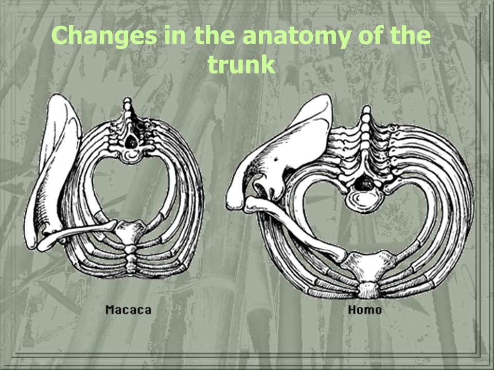 Changes in the anatomy of the trunk