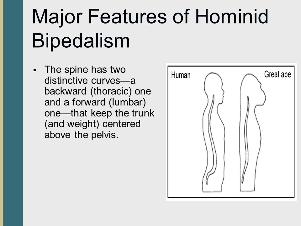 Major Features of Hominid Bipedalism
