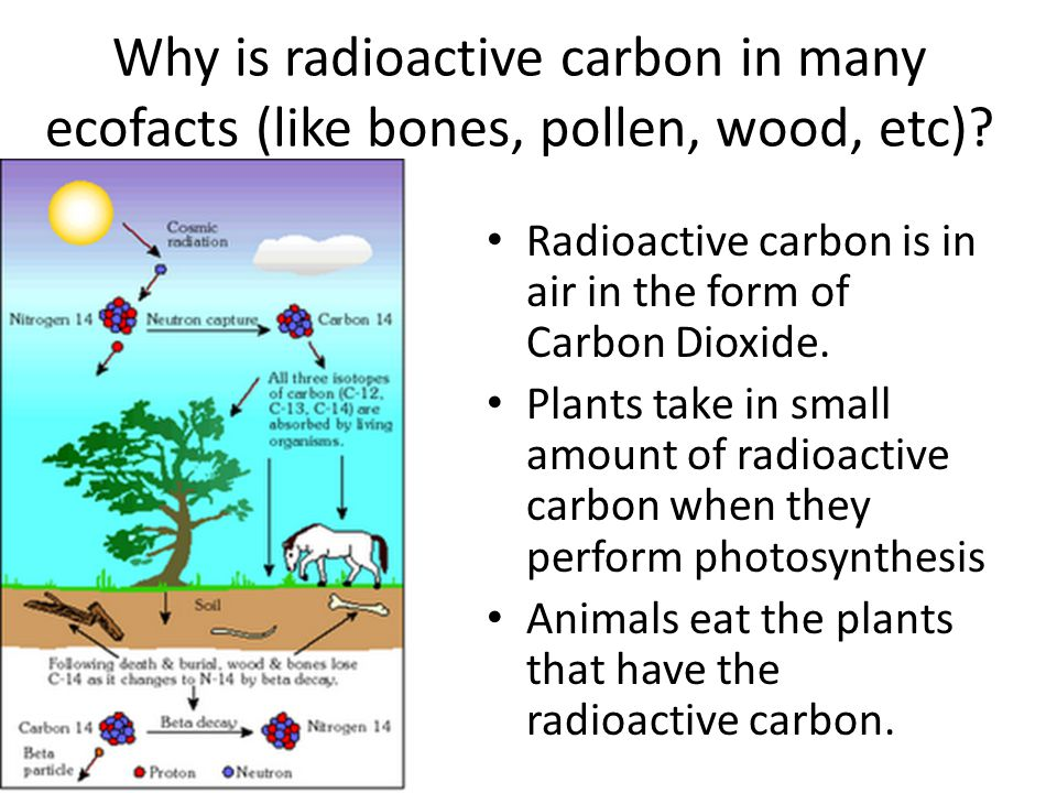 Why is radioactive carbon in many ecofacts (like bones, pollen, wood, etc)