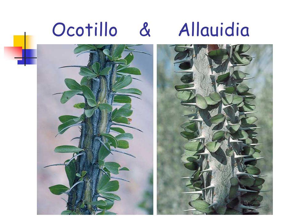 Ocotillo & Allauidia